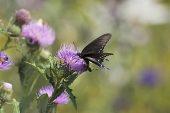 Spicebush swallowtail Papilio troilus feeding on thistle flowers Marais des Cygnes National Wildlife Refuge Pleasanton Kansas USA