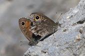 Wall butterfly Lasiommata mergera pair mating Vercors Regional Natural Park France