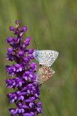 Provence chalk-hill blue Lysandra hispana pair mating on Fragrant orchid Gymnadenia conopsea Vercors Regional Natural Park France