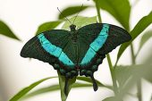 Emerald swallowtail Papilio palinurus New Forest Wildlife Park near Ashurst New Forest National Park Hampshire England UK April 2016
