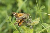 Silver-spotted skipper Hesperia comma Broughton Down Hampshire and Isle of Wight Wildlife Trust Reserve near Broughton Hampshire England UK August 2016