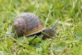 Common garden snail Helix aspersa on lawn Hampshire England