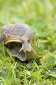 Common snail Helix aspersa on lawn Hampshire England