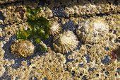 Common limpet Patella vulgata and Acorn barnacle Semibalanus balanoides Uisken Bay