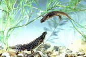 Smooth newt Triturus vulgaris in an aquarium Ringwood Hampshire England UK