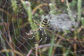 Wasp spider Argiopie brunechii on web on heathland New Forest National Park Hampshire