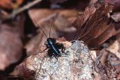 Wood-cricket Nemobius sylvestris among leaf litter New Forest