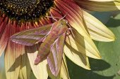 Elephant hawk-moth Deilephila elpenor on sunflower Hampshire England
