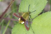 Broad-bordered bee hawk-moth Hemaris fuciformis on bramble leaf Centre Region France