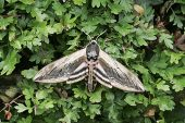 Privet hawk-moth Sphinx ligustri Hampshire England