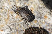 Field cricket Gryllus campestris Vercors National Park France