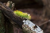 Pale tussock moth Calliteara pudibunda larvae resting on rotting log New Forest National Park Hampshire England UK October 2014