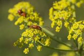 Common red soldier beetle Rhagonycha fulva on Wild parsnip Pastinaca sativa Broughton Down Hampshire and Isle of Wight Wildlife Trust Reserve Hampshire England UK July 2016