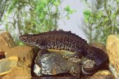 Great crested newt Triturus cristatus studio shot Ringwood Hampshire England UK