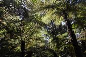 Tree ferns in Pureora National Forest Park New Zealand