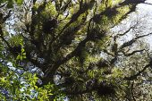 Epiphytes and lichen covered tree Totara Walk Pureora Forest Park North Island New Zealand