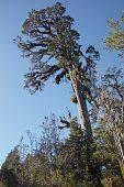 Kahikatea Dacrycarpus dacrydioides and ancient swamp forest Ship Creek South Island New Zealand