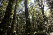 Podacarp trees Lake Gunn Nature Walk Cascade Creek South Island New Zealand