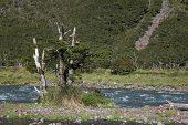 Dead trees in river near Cascade Creek Fiordland National Park South Island New Zealand