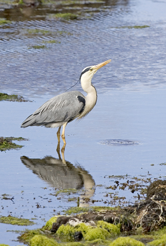 01AD1008 Grey heron in rock pool A6 Greetings Card