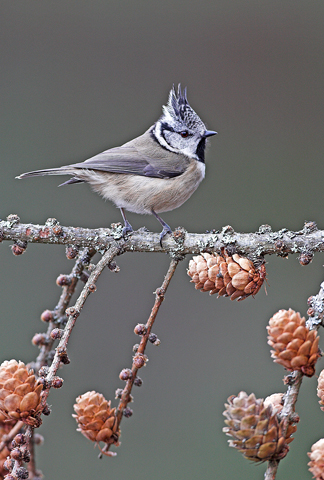 01AD2354 Crested tit A6 Greetings Card