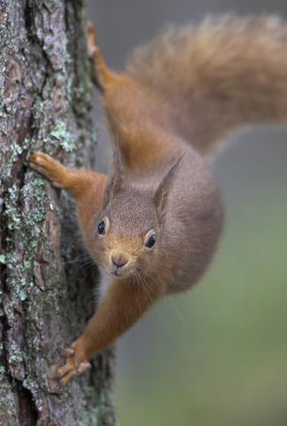 01DD0847 Red squirrel A6 Greetings Card