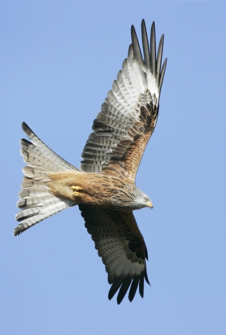 02AD0658 Red kite in flight A6 Greetings Card