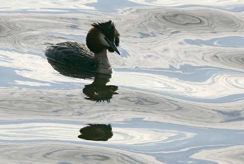 02AD4282 Great crested grebe A6 Greetings Card