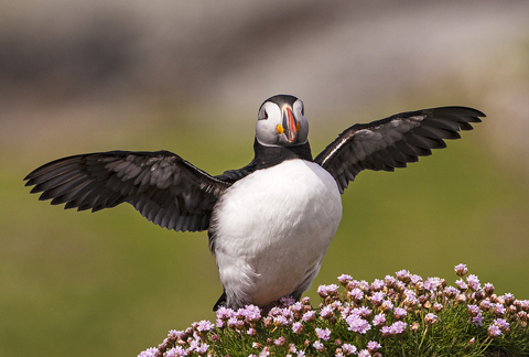 02AD7413 Atlantic puffin A6 Greetings Card