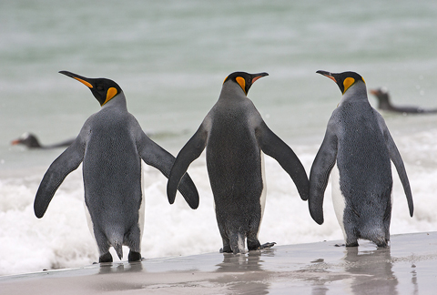 02AD8016 King penguin trio A6 Greetings Card