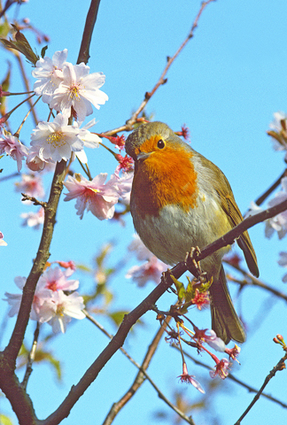 325-A-330 Robin in blossom A6 Greetings Card